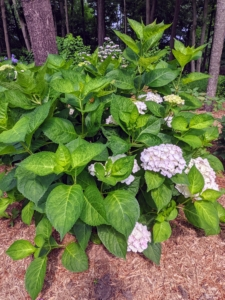 This space was already planted with hydrangeas. I love hydrangeas and have been collecting them for quite a long time. Hydrangeas are popular ornamental plants, grown for their large flower heads, which are excellent in cut arrangements and for drying.
