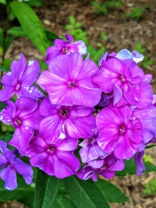 Phlox is a genus of 67 species of perennial and annual plants in the family Polemoniaceae. They are found mostly in North America in diverse habitats from alpine tundra to open woodland and prairie. Some flower in spring, others bloom in summer and fall. The colors range from dark pink to blue, violet, bright red, or white.