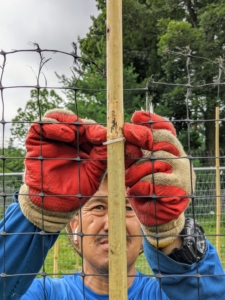 Securing the tomato plants is a time consuming process, but very crucial to good plant growth and performance. Chhiring starts at the top and uses thin four-inch zip ties, or cable ties, to attach the netting to the bamboo stakes.
