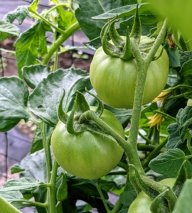 Do you know... 93-percent of American gardeners grow tomatoes in their yards? And, according to the U.S. Department of Agriculture, most Americans eat between 22 and 24 pounds of tomatoes per person, per year – this includes tomatoes in sauces. this tomato variety is called 'Ginfiz.'