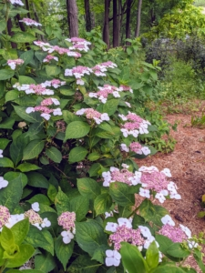 The lacecap is very similar to the mophead, but instead of growing round clusters of showy blossoms, this hydrangea grows flowers that resemble flat caps with frilly edges.