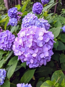 """Hydrangeas are long-lived, and extremely vigorous specimens that offer lavish and varied blooms. The most common garden hydrangea shrub is the bigleaf mophead variety, Hydrangea macrophylla. The name hydrangea originates from two Greek words – """"hydro"""" meaning """"water"""" and """"angeion"""" meaning """"vessel"""" or """"container."""" Together, the rough translation is """"water vessel"""" which refers to their exceptional thirst for water."""