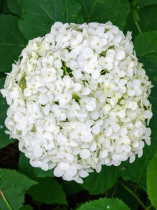 Here is a beautiful large white hydrangea flower head. Hydrangea is a genus of at least 70-species of flowering plants native to southern and eastern Asia and the Americas. By far the greatest species diversity is in eastern Asia, notably China, Japan, and Korea.