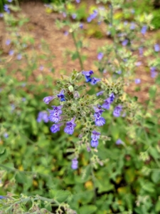Catnip is a member of the mint family. I grow catnip in a few different areas around the farm. It is an aggressive herb, so it spreads very quickly. Cats love the smell of the essential oil in the plants' stems and leaves. I dry a big batch of catnip every year for my dear kitties.