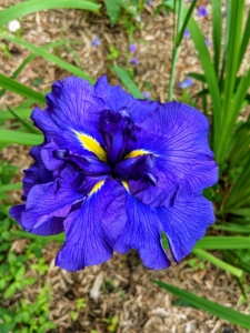 Iris is a genus of 260–300 species of flowering plants with showy flowers. It takes its name from the Greek word for a rainbow, which is also the name for the Greek goddess of the rainbow, Iris. Irises come in just about every flower color, both solids, and bi-colors.