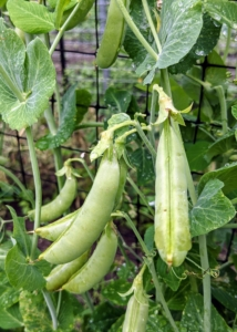 In one garden along both sides of our two trellises, we have lots of peas - one side for shelling peas, which need to be removed from their pods before eating, and the other side for edible pods, which can be eaten whole, such as our snap peas. They are best grown on supports to keep them off the ground and away from pests and diseases.