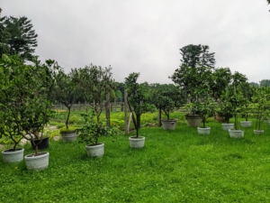 This year, I decided to display all my potted citrus in front of the vegetable gardens. Here, they can be watered and monitored easily. The vegetable gardens are entirely fenced in to protect the crops from hungry creatures. All the plants are growing well - and some are ready to pick.