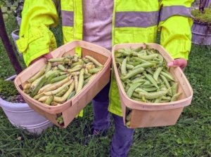 Elvira and Enma picked many peas. Extend the harvest season by re-planting in two-week successions. Succession planting is the practice of following one crop with another to maximize a garden's yield. It is an efficient use of gardening space and time.