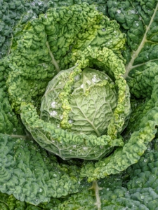 Some of the cabbages are also not as large, but these are growing nicely. To get the best health benefits from cabbage, it's good to include all three varieties into the diet – Savoy, red, and green. Savoy cabbage leaves are more ruffled and a bit more yellowish in color.