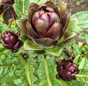 Here's a purple artichoke ready to harvest. Purple artichokes are loved for their superior flavor and vibrant color. When harvesting, always use sharp pruners and carefully cut them from the plant leaving an inch or two of stem. Artichokes have very good keeping qualities and can remain fresh for at least a week.