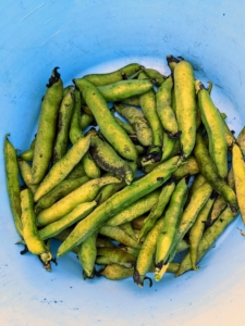Vicia faba, also known as the broad bean or fava bean is an ancient member of the pea family. They have a nutty taste and buttery texture. I always grow lots of fava beans.