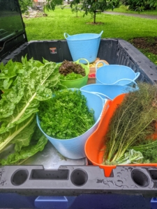 Everything is loaded in trug buckets and brought up to my flower room, where they will be washed if needed, then bagged and stored in the refrigerator until ready to use. How was your harvest this week?