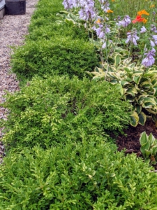 This bed is also bordered with a row of boxwood at the front. These boxwood shrubs were nurtured from small seedlings right here on my farm. On the right, a row of hostas.