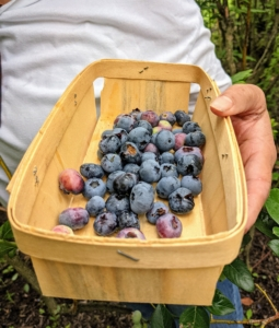 The day was cloudy, but quite pleasant with temperatures in the 70s, so Elvira set out to pick as many blueberries as she could before the temperatures soared into the upper 80s.