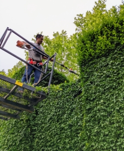 Pasang is lifted above the hedge, so he could safely trim the top from the cage of the Hi-Lo. The top of this hedge section is trimmed perfectly level using our STIHL battery powered extended hedge trimmer.