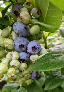 """Blueberries were once called """"star fruits"""" by North American indigenous peoples because of the five-pointed star shaped crown."""