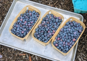 This first harvest was very successful. How do you like to enjoy blueberries? Let me know in the comments.