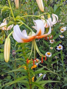 This Turk's cap-type lily has white blooms with raised, dark red spots and warm yellow-orange centers.