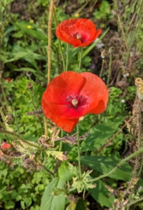 """We added some poppies to this garden and a few of them are still holding strong. The name """"poppy"""" refers to a large number of species in at least 12 different genera in the subfamily Papaveroideae, which is within the plant family Papaveraceae. They produce open single flowers gracefully located on long thin stems, sometimes fluffy with many petals and sometimes smooth."""