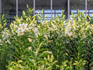 And look at the formal white lily garden in front of the greenhouse. Soon, this bed will be bursting with gorgeous white lily flowers. I will share more on this garden in a future blog.