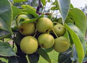 Here is a closer look at some of the growing fruits. I am so pleased with how these pear trees are growing and producing.