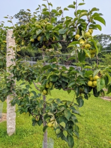 """Last year, we planted six 'Shinseiki' and four 'Nijisseiki' pear trees. 'Shinseiki' Asian pear means """"new century"""" and was developed from two of the best Asian pears of the 1940s. The 'Shinseiki' Asian pear is round, medium to large, yellow smooth-skinned fruit with little or no russet. It has crisp, creamy white flesh, and a mild, sweet flavor. The 'Nijisseiki' pear, or the 20th Century Asian pear as it is often called, is incredibly delicious, easy to grow, and smells just like a pear, but, like an apple, the outside of the fruit is crisp, firm and round."""