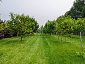 This orchard surrounds three sides of my pool. Many of the trees here were bare-root cuttings that we nurtured in pots before planting.