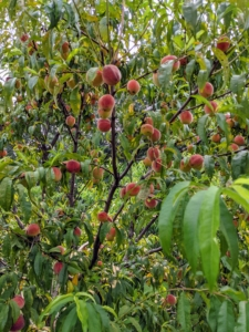 Growing peach trees are self-fruitful, which means that pollen from the same flower or variety can pollinate the tree and produce fruit, so it is okay to plant just one. I have more than 15-peach trees in this orchard.