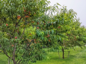 Peach trees thrive in an area where they can soak up the sunshine throughout the whole day. It prefers deep sandy well-drained soil that ranges from a loam to a clay loam.