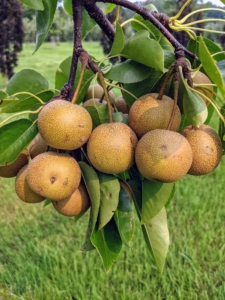 I also planted many types of Asian pear, Pyrus pyrifolia, which is native to East Asia. These trees include Hosui, Niitaka, Shinko, and Shinseiko. Asian pears have a high water content and a crisp, grainy texture, which is very different from the European varieties.