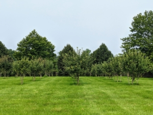 We have many, many fruits growing – in part because of the nutrient-rich soil. We have a variety of apple trees, plum trees, cherry trees, peach trees, apricot trees, nectarine, pear, medlar, and quince trees. I am very fortunate to have such an expansive paddock space to grow all these trees.
