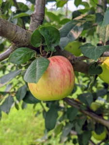 And of course, I have a section of delicious apples. I already grow hundreds of apple trees here at the farm – some that were here when I acquired the property and others I planted soon after moving here. These newer apple trees include: 'Baldwin', 'Black Oxford', 'Cortland', 'Cox's Orange Pippin', 'Esopus Spitzenburg', 'Fuji', 'Golden Russet', 'Grimes Golden', 'Honeycrisp', 'Liberty', 'Redfield', 'Roxbury Russet' 'Windham Russet', and more.