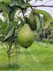 Some of the other pears in the orchard are 'Bartlett', 'Columbia', 'D'Amalis', 'Ginnybrook', 'McLaughlin', 'Nova', 'Patten', 'Seckel', 'Stacyville', and 'Washington State'.