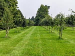 Fruit trees need a good amount of room to mature. When planting, be sure to space them at least 15-feet apart. The trees are staked for added trunk support. The stakes also protect them from mowers and weed whackers.