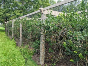 If you follow this blog regularly, you know I always have many, many blueberries. We still have lots more to pick.
