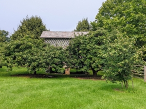 On one side of the old corn crib are just a couple of my many quince trees. Are you familiar with quince? Quince is a fall fruit that grows in a manner quite like apples and pears, but with an unusually irregular shape and often gray fuzz.
