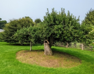 Nearby is one of the original apple trees on the farm. These old trees still produce an abundance of fruit.