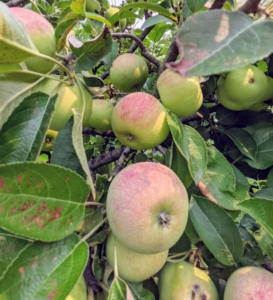We should have a great apple season - look at all these fruits. When selecting a place to plant an apple tree, choose a north- or east-facing slope.