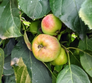 These 'Gravenstein' apples will mature with a delicately waxy yellow-green skin with crimson spots and reddish lines. Some may also be all red. What fruits do you grow? Let me know - I love hearing from you.