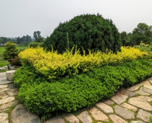 On the upper terrace parterre in front of my Winter House porch, I have four quadrants, each with a large boxwood shrub surrounded by a square hedge of boxwood and golden barberry. Here is one of the quadrants before it is trimmed – look at all the growth.