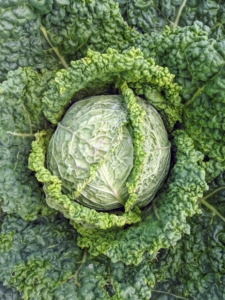 To get the best health benefits from cabbage, it's good to include all three varieties into the diet – Savoy, red, and green. This is a Savoy cabbage.