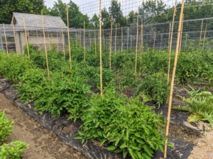 We planted more than 100-tomato plants this year. All the plants are now well-supported by bamboo stakes. We're growing both hybrid and heirloom varieties.