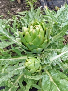 And here are just a couple of the artichokes – I love artichokes. We have many growing! Artichokes are actually flower buds, which are eaten when they are tender. Buds are generally harvested once they reach full size, just before the bracts begin to spread open.