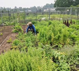 Here's Chhiring tending the garden beds. Because of all the heat and rain this summer, the weeds are growing rampant. It takes a lot of work to maintain such large gardens here at the farm.