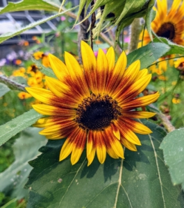 Once established, sunflowers can tolerate some drought; however, in the periods before, during and after flowering, they perform best with deep, regular watering.