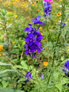 This is larkspur. Larkspur produces lovely spikes of blue, purple, pink, or white flowers in spring and summer. Larkspur belongs to the buttercup or Ranunculaceae family and the genus Delphinium.