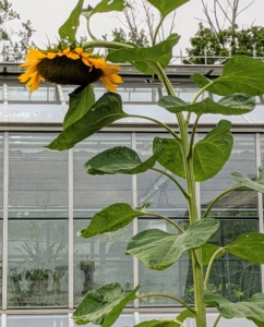 This sunflower is about nine feet tall. When a sunflower's head has completely bloomed, when it's been pollinated and becomes heavy with seeds, it may bend over and droop down.