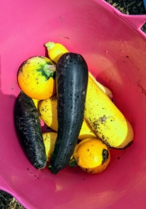 We harvested a full bucket of summer squash. Zucchini can be dark or light green. A related hybrid, the golden zucchini, is a deep yellow or orange color – all so delicious.