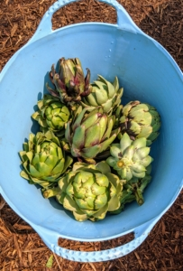 When harvesting artichokes, all you need is a utility knife to cut the stem approximately one to three inches from the base of the bud. The stem becomes a useful handle when trimming the artichoke. After harvesting the center bud, the artichoke plant will produce side shoots with small buds between one to three inches in diameter.