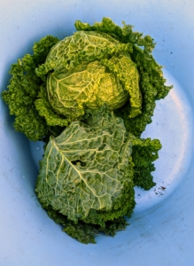 Ryan picked two heads. The leaves of the Savoy cabbage are more ruffled and a bit more yellowish in color. Cabbage, Brassica oleracea, is a member of the cruciferous vegetables family, and is related to kale, broccoli, collards, and Brussels sprouts.